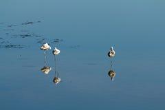 3 flamingos som vilar vatten Arkivfoton