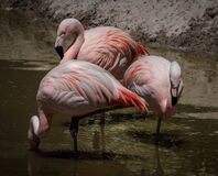 3 Flamingos Surrounded of Water during Daytime Royalty Free Stock Images
