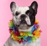 3 franska gammala år för bulldogg Royaltyfria Bilder