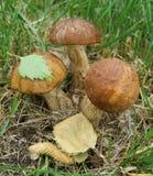 3 funghi commestibili selvaggi Fotografie Stock