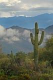 3 gór kaktus saguaro przesądy Obraz Royalty Free