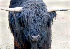 3 góralu krowy Obrazy Stock