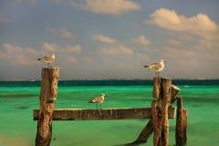 3 gaivotas Fotografia de Stock