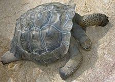 3 Galapagos tortoise Zdjęcia Stock
