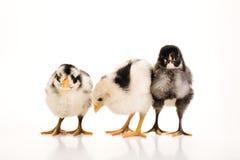 3 galinhas do bebê junto Fotografia de Stock