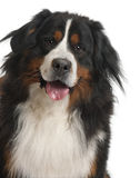 3 gammala år för bernese hundberg Royaltyfri Fotografi