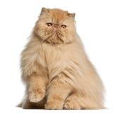 3 gammala persiska år för katt Arkivbild
