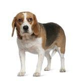3 gammala plattform år för beagle Royaltyfria Foton