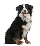 3 gammala sittande år för bernese hundberg Arkivbild