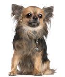 3 gammala sittande år för chihuahua Royaltyfri Foto