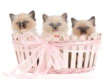 3 gatinhos bonitos de Ragdoll na cesta cor-de-rosa Foto de Stock Royalty Free