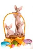 3 gatinhos de Sphynx na cesta de Easter Fotografia de Stock