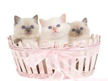 3 gatitos bonitos de Ragdoll en cesta rosada Foto de archivo
