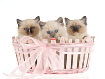 3 gatitos de Ragdoll en cesta rosada del regalo Imagen de archivo