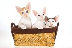 3 gatitos orientales en cesta en el fondo blanco Foto de archivo libre de regalías