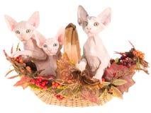 3 gatitos sin pelo de Sphynx en cesta del otoño Fotos de archivo