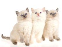 3 gattini di Ragdoll che si siedono sulla priorità bassa bianca Fotografia Stock
