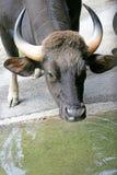 3 gaur Fotografia Stock