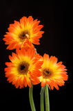 3 gerberas fotos de stock royalty free