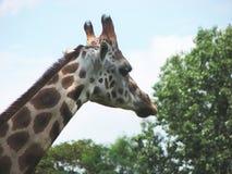 3 giraffe κεφάλι Στοκ Εικόνα