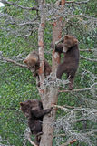 3 Grizzly cubs in Tree #2 Royalty Free Stock Image