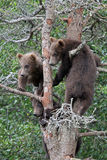 3 Grizzly cubs in Tree #4 Stock Photography