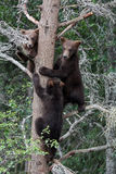 3 Grizzly cubs in Tree Stock Photos