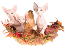 3 Hairless Sphynx kittens in autumn basket Stock Photos