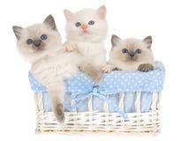 3 hübsche Ragdoll Kätzchen im blauen Korb Lizenzfreie Stockfotos