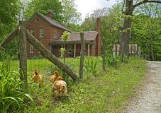 3 Hennen Cherbourg-Bauernhof Lizenzfreies Stockfoto