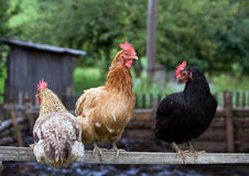 3 hens. Sitting on a perch Stock Photos