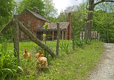 3 hens Cherbourg Farm. 3 hens meandering around the Cherbourg Farm. dunes state park, Indiana Royalty Free Stock Photo