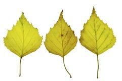3 hojas del abedul isloated en un fondo blanco Fotos de archivo libres de regalías