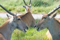 3 horned djur Royaltyfria Bilder