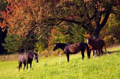3 Horses. Three horses taking rest under the tree royalty free stock images