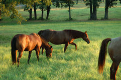 3 horses. In early morning, graze in a green pasture, the sun reflects off there brown coats Stock Photos