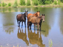 3 horses in water. Three horse standing in a pond to cool off in the summer heat Royalty Free Stock Photos