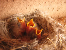 3 hungry baby birds. Three hungry baby birds stick their heads up out of the nest for a meal Stock Image