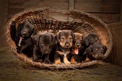 3 jamnika starych szczeniaków tydzień Obrazy Royalty Free