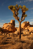 3 Joshua tree Fotografia Royalty Free