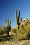 3 kaktusów saguaro Zdjęcia Stock
