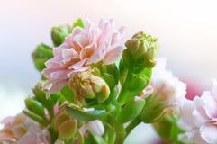 3 kalanchoe różowe Fotografia Stock