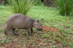 3 kapibara Fotografia Stock