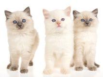 3 katjes Ragdoll op witte achtergrond Stock Afbeeldingen