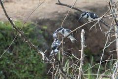 3 Kingfishers - Pied Kinghisher Стоковое Изображение RF
