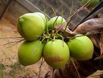 3 kokosów Obraz Stock