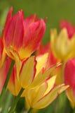 3 kolorowego tulipanu Zdjęcia Royalty Free