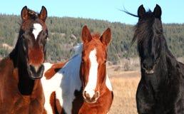 3 konia Zdjęcie Royalty Free
