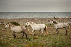 3 konia dzikiego Obraz Stock
