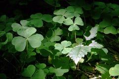 3 koniczyn liści, Fotografia Stock